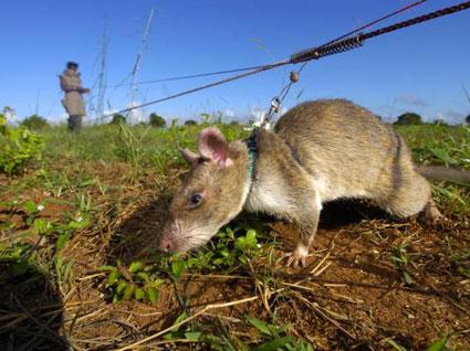 rat land mines