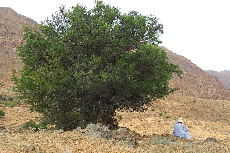 argan shade tree
