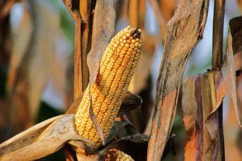china gmo corn