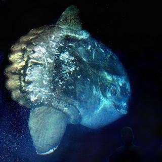 giant sunfish