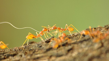 fire ant fight
