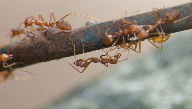 US Army Studies Fire Ant Colonies to learn more about Modular Robotics