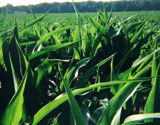 Is the Production of GM Crops Increasing Cancer Rates Near Farms?