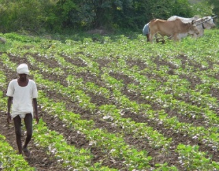 GMO Crops in India Might Be To Blame for Farmer Suicides
