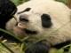 Is China Lying about Its Panda Population?