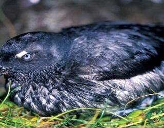 Mass Deaths of California Seabirds: Fukushima Radiation Casualties?