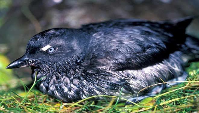 Mass Deaths of California Seabirds: Fukushima Radiation Casualties?