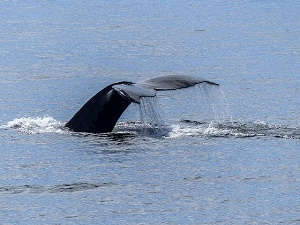 humpback tail fin
