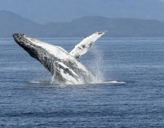 What is Killing Off Whales in Alaska?