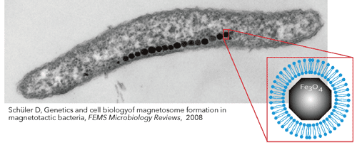 magnetic-bacteria