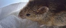 Brain Implants Control Rats and May One Day Treat Humans